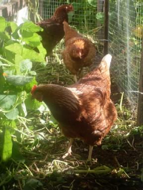 Raising Ens For Eggs